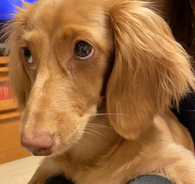 ます 子犬 👀ダックス フンド 譲り