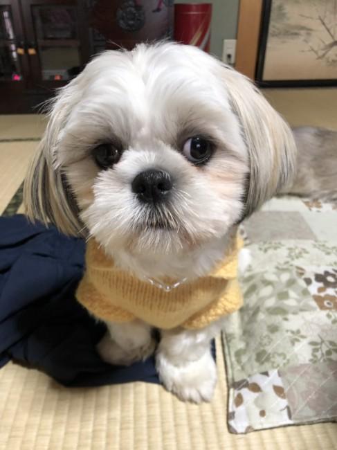 Image result for 犬 Shih Tzu愛らしい目