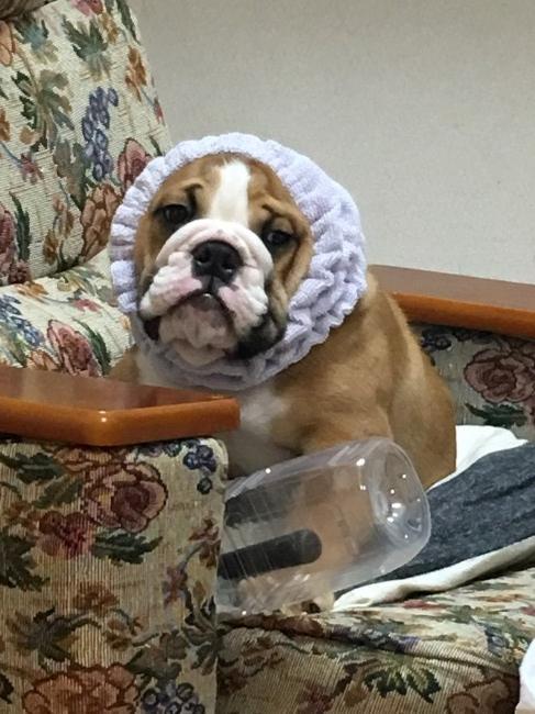 Resultado de imagen para 犬 english bulldog おもしろい
